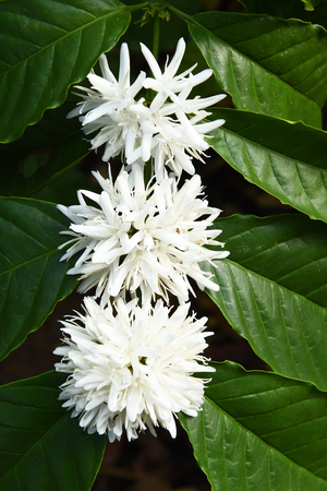 close up view: Coffee tree blossom with white color flower close up view