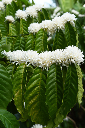 bush to grow up: Coffee tree blossom with white color flower close up view