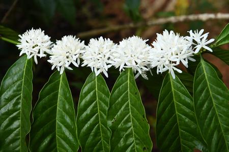 arbol de cafe: Flor del árbol de café con la flor de color blanco vista de cerca