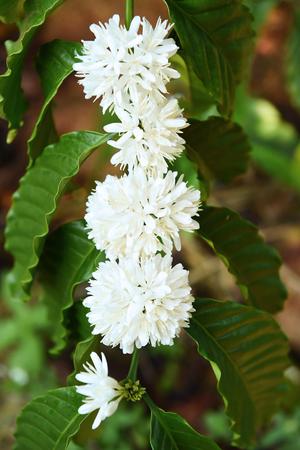 Koffie boom bloesem met witte kleur bloem close-up bekijken