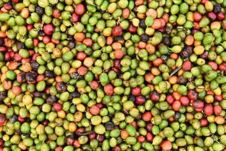 frijoles: granos de café frescos antes de asado.