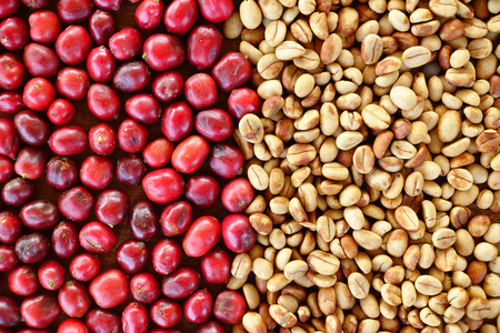 robusta: Coffe beans and fresh berries beans backgourng Stock Photo