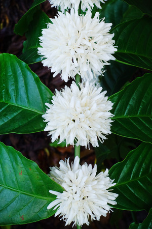 coffee tree: Coffee tree blossom with white color flower close up view