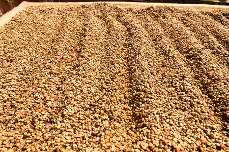 raked: Coffee beans dried in the sun, Coffee beans raked out for drying prior to roasting Stock Photo