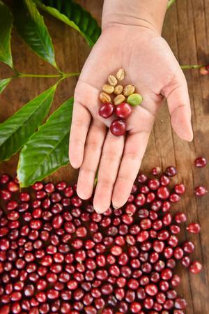 Fresh coffee bean in hand on red berries coffee backgourng Standard-Bild