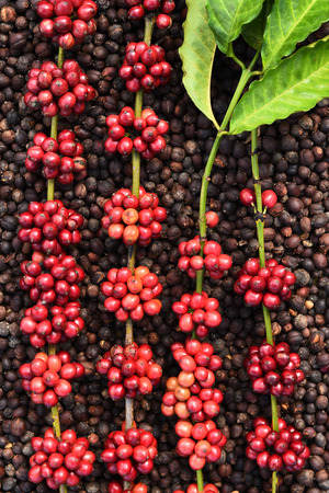 Coffee beans ripening on dried berries coffee beans backgourng Imagens