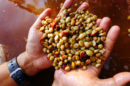 ferment: Coffee beans,In the ferment and wash method of wet processing