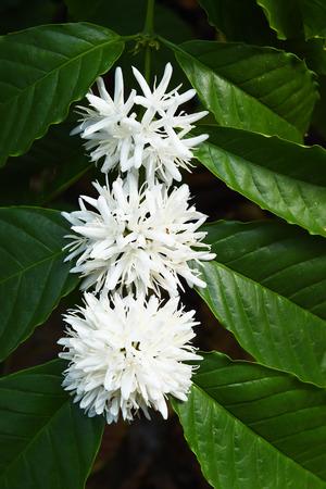 arbol de cafe: Coffee tree blossom with white color flower close up view
