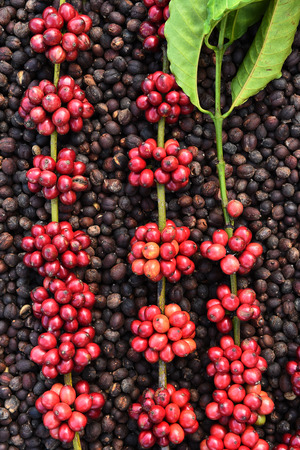 Coffee beans ripening on dried berries coffee beans backgourng Banco de Imagens