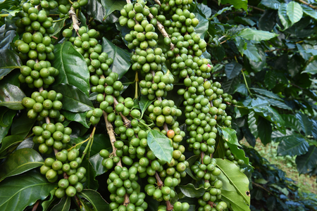 unpicked: Green coffee beans on stem.