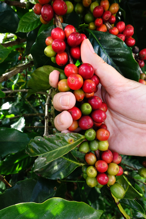 unpicked: production of coffee beans harvested by hand