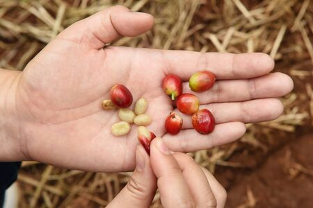 coffee harvest: arabica, bean, caffeine, coffee, fresh, harvest, ripe Stock Photo