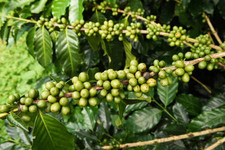 coffee harvest: Green coffee beans on stem.