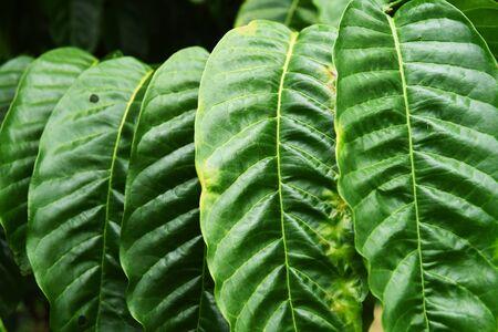 arbol de cafe: Coffee tree leaves for background Foto de archivo