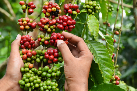 coffee harvest: Coffee beans ripening on a tree. Stock Photo