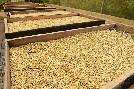 Coffee beans dried in the sun, Coffee beans raked out for drying prior to roasting Stock Photo