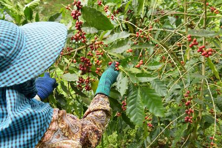 Koffiebonen die op een boom rijpen. Stockfoto