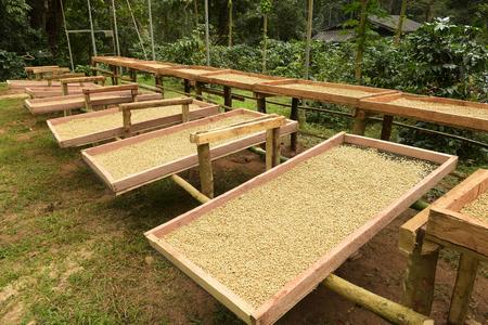 太陽の下で乾燥したコーヒー豆、焙煎前に乾燥用のコーヒー豆 写真素材