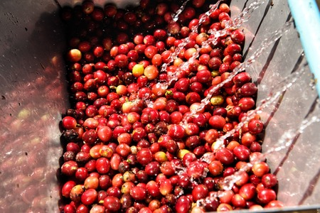 Coffee beans,In the ferment and wash method of wet processing Фото со стока