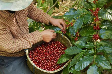 농업가 손에 붉은 열매 커피 콩의 클로즈업