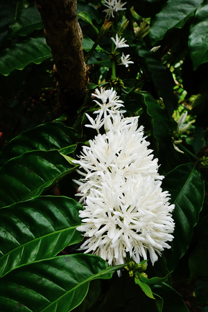 Coffee tree blossom with white color flower close up view