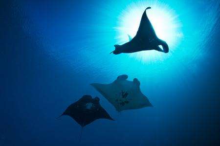 3 Manta rays against backlight