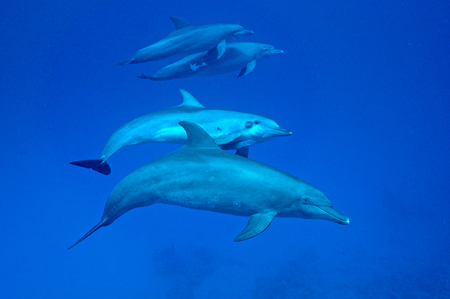 bottle nose: bottle nose dolphin and spinner dolphin together Stock Photo