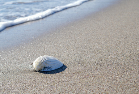 A white shell rests on the sand at the edge of the sea