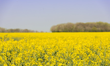 A farm field of oil-seed rape stretches into the distance