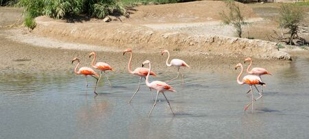 A group of brightly coloured flamingos walk across mud flat