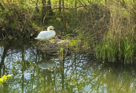 A Swan tends it's eggs in a nest beside a river