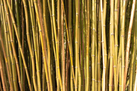 A dense clump of bamboo canes suitable for a background