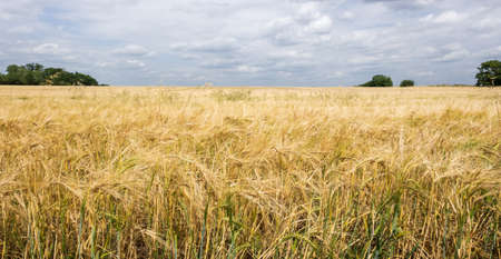 A farm field contains ripe wheat almost ready for harvest