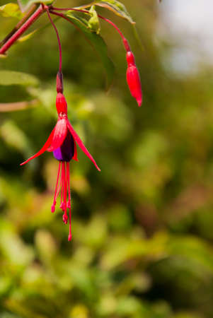 A single fuchsia flower hanging in front of blurred foliage suitable for a background