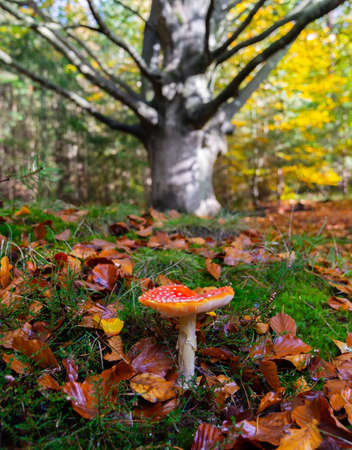 A red mushroom grows out of a wet forest floor strewn with leaves in front of a large tree