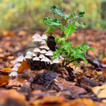 A small clump of fungi under a sprig of new holly on a leaf carpeted forest floor