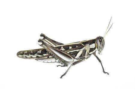 langosta: Locust salto