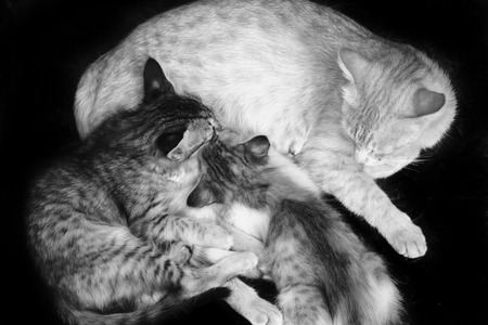 Cat nursing kittens with black background photo
