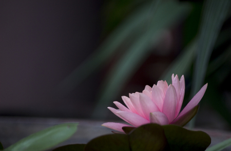 Lotus flower with dark  leafy  background