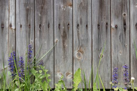 Background grey rustic board fence with nails and green grass with purple flowers at the bottom
