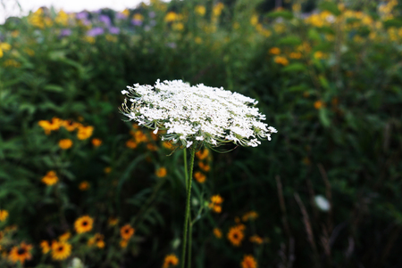 Wild Carrot Close-up alone on the Background Green Grass. Whight Blooming Flowers. Indiana, Frankfort
