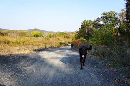 Pets for a walk in the forest. Dogs go after an active jog on the autumn forest road. In the background is a mountain peak