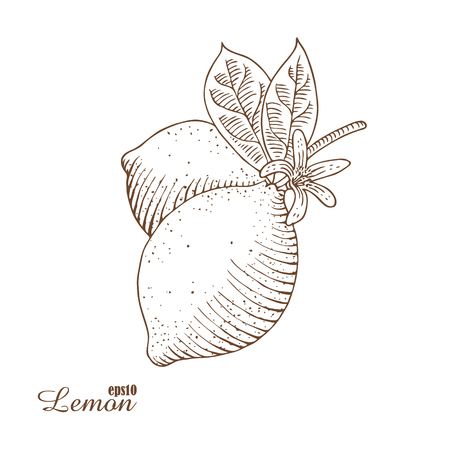 botanics: Engraved illustration of lemon isolated on white background. Hand-drawn a sketch in woodcut style. Contour drawing with hatching. Organic food illustration.