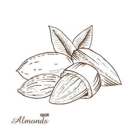 almonds: Almonds. Woodcut style. Hand drawn sketch walnut. Vector illustration.