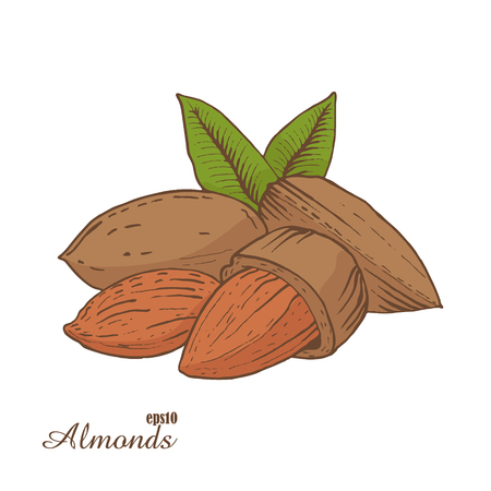 almonds: Almonds. Woodcut style. Hand drawn sketch walnut. Color vector illustration.