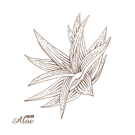 aloe vera plant: Aloe vera. Vector botanical illustration in woodcut style. Medicinal plants. The isolated vintage image on white background. Hand-drawn sketch.