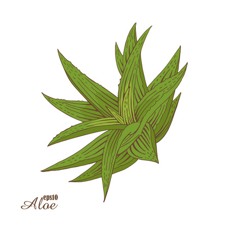 Aloe vera. Hand-drawn color sketch. Vector botanical illustration in woodcut style. Green medicinal plants. The isolated vintage image on white background.