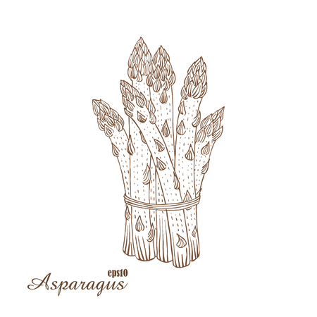 lithograph: Asparagus. Vector illustration in woodcut style. Hand-draw sketch.