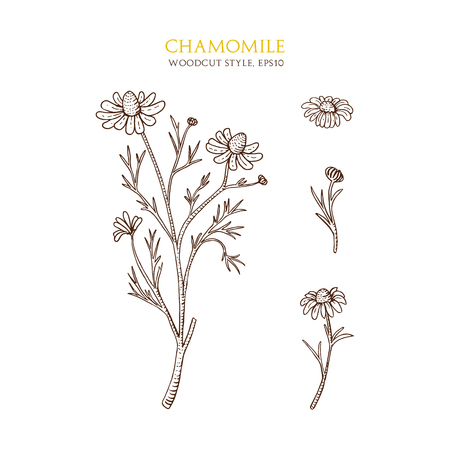 an inflorescence: Vector botanical illustration of chamomile on white background. Hand drawn sketch in woodcut style with flower and inflorescence. Natural organic flower. Medical herbs and plants.