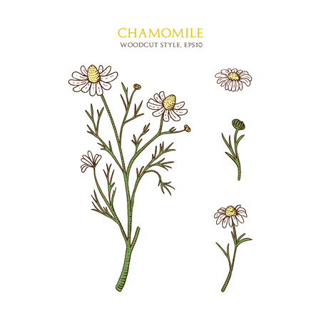 an inflorescence: Hand drawn chamomile in woodcut style with flower and inflorescence. Vector botanical illustration on white background. Natural organic flower. Medical herbs and plants. Engraved style. Illustration
